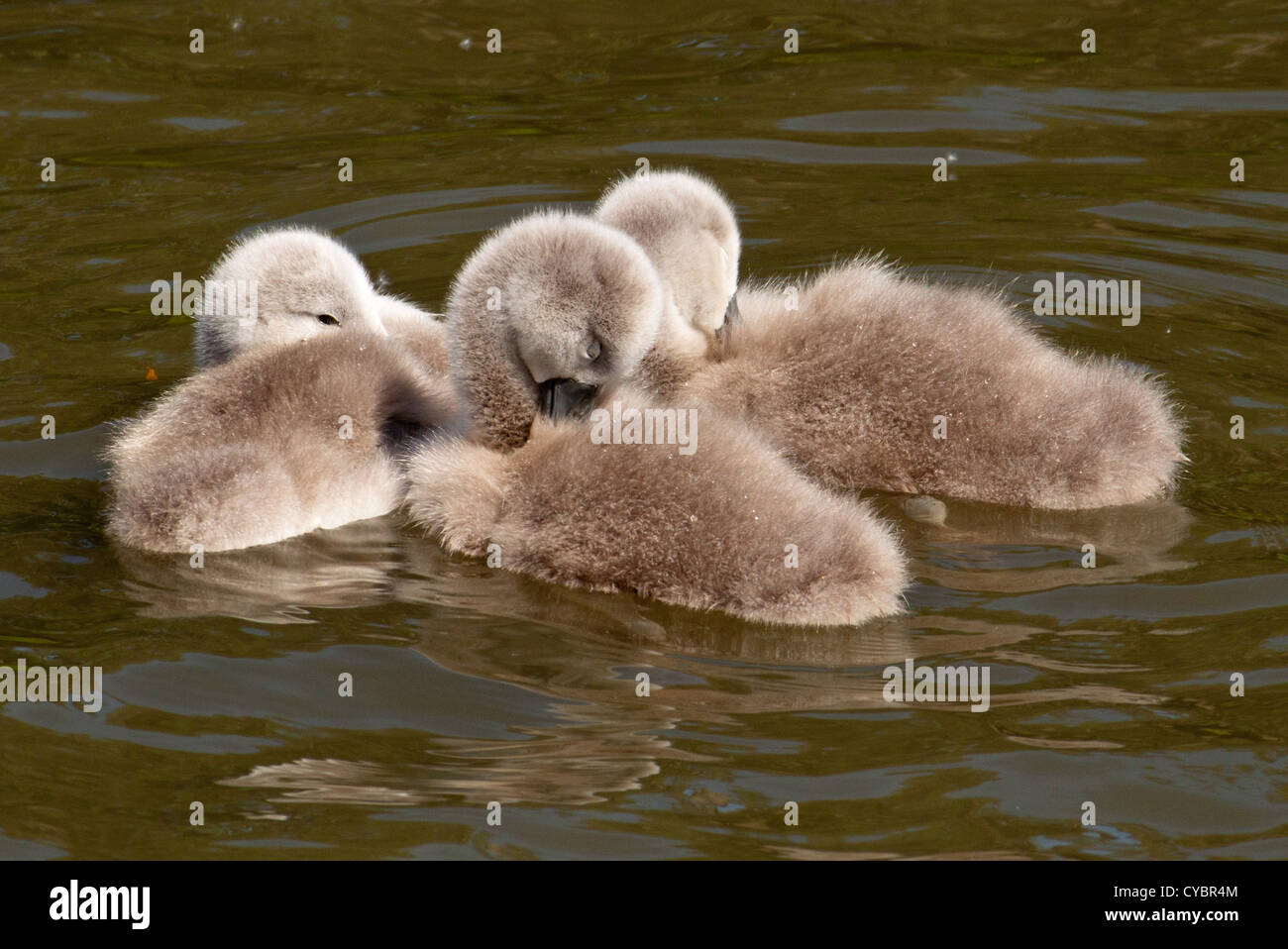 Three Cygnet - Signet or baby Swans relaxing and getting some sleep Stock Photo