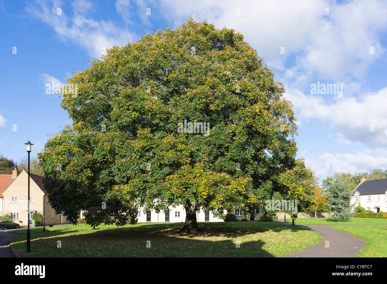 Large, mature Oak tree in late summer - Stock Image