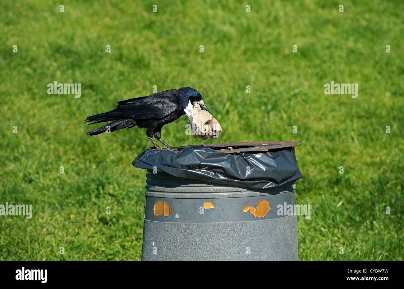 Rook on rubbish bin searching for food - Stock Image