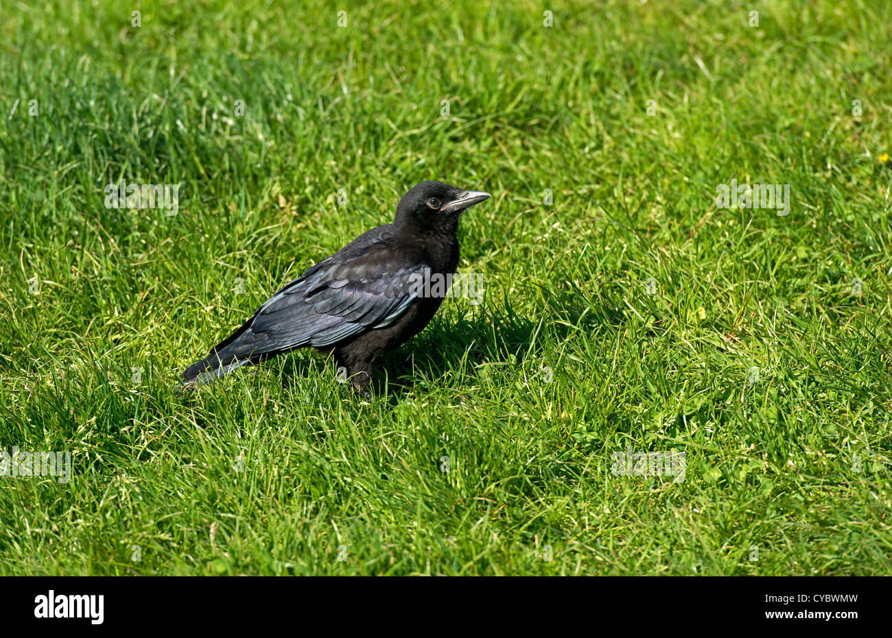 Rook juvenile on grass - Stock Image