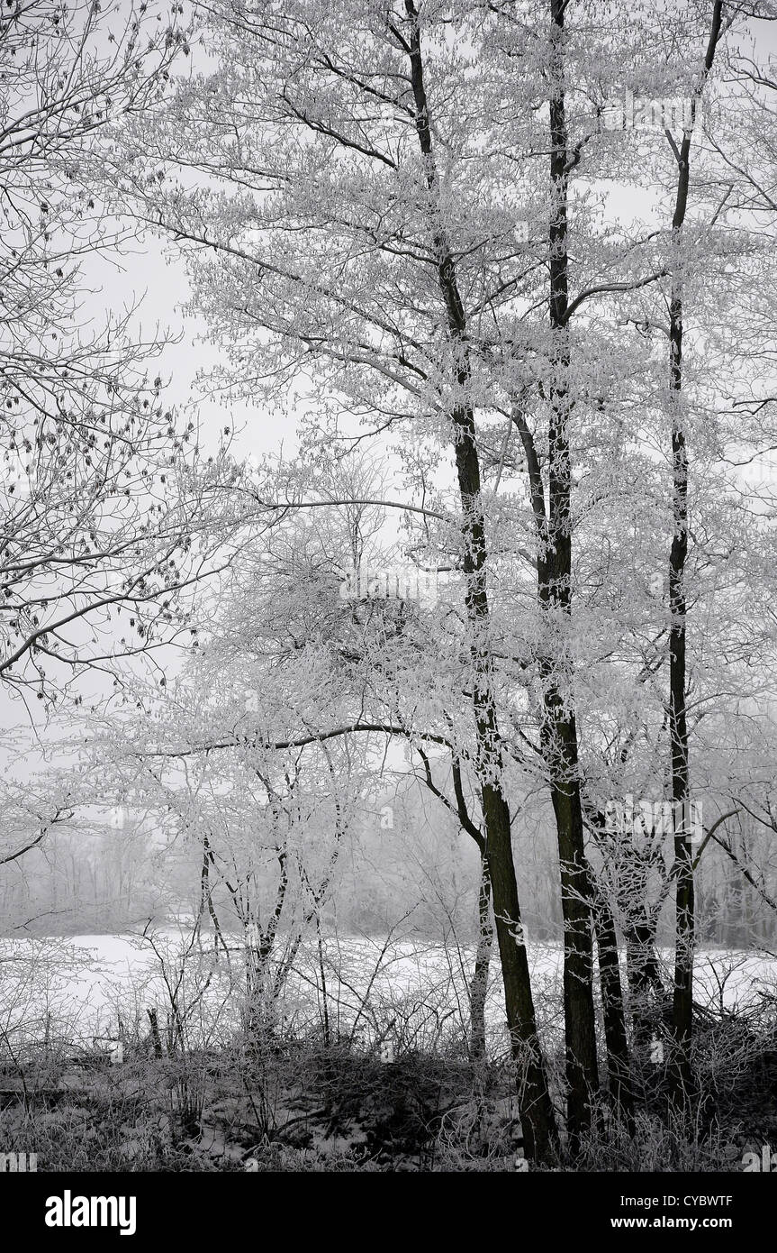 Group of trees at the edge of a forest covered with hoar frost - Stock Image