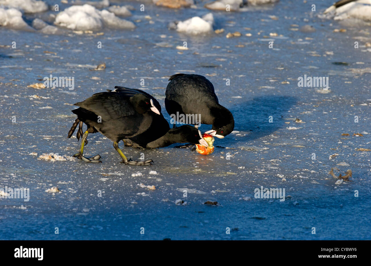Eurasian Coots fighting over apple on ice in hard weather Stock Photo