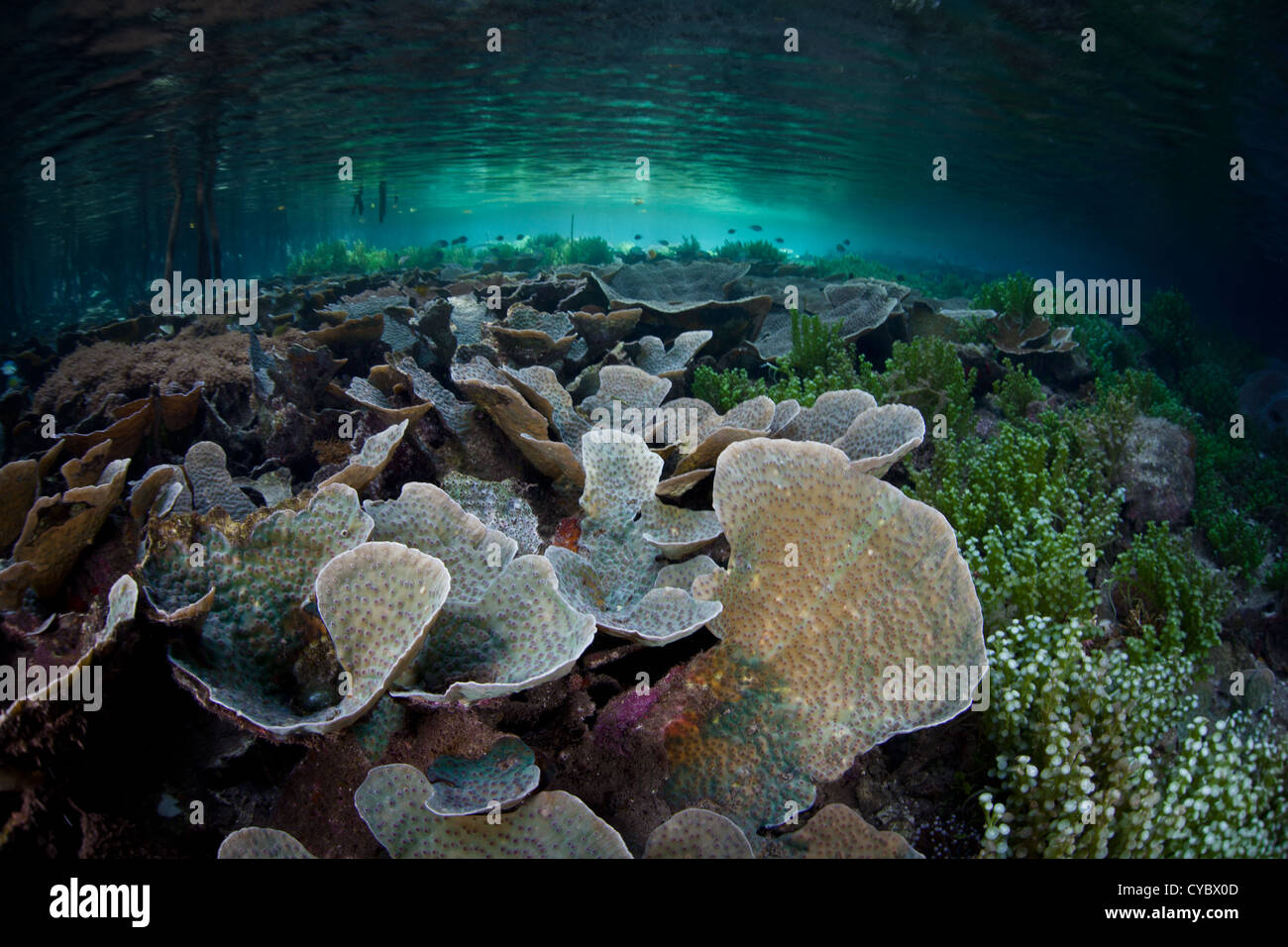 Foliose corals grow in the shallows near the shadows of a mangrove forest in Alyui Bay, Raja Ampat, Indonesia. Stock Photo