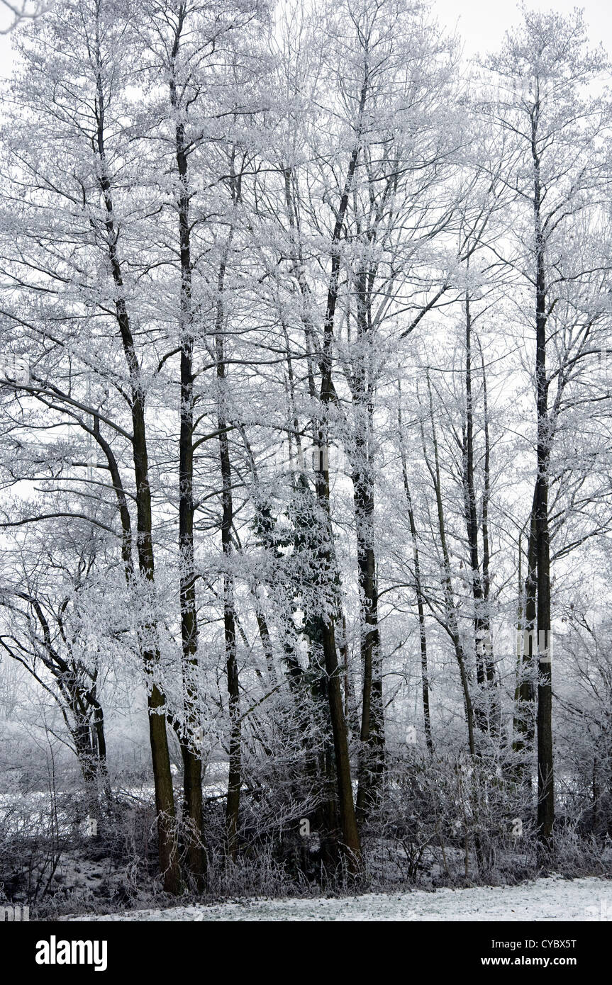Group of trees covered with hoar frost - Stock Image