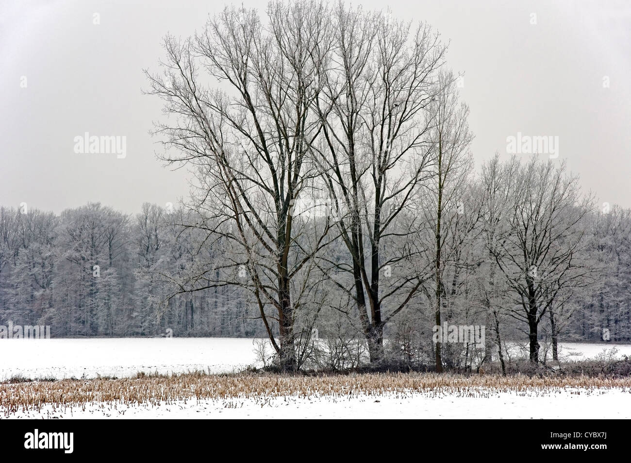 Group of trees covered with hoar frost on a snowy field in Muensterland (North Rhine-Westphalia, Germany) - Stock Image
