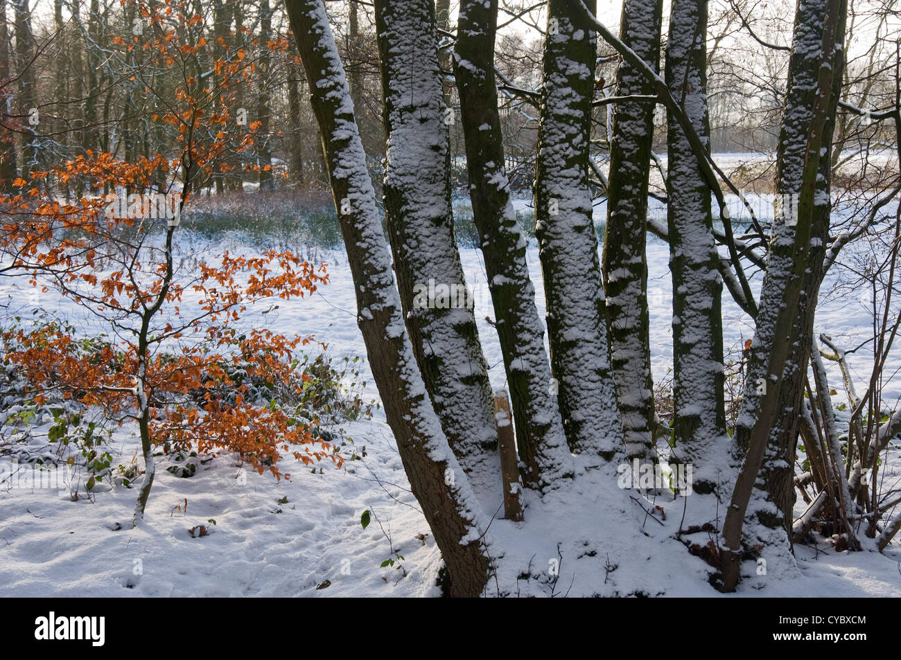 Snow-covered tree trunks - Stock Image