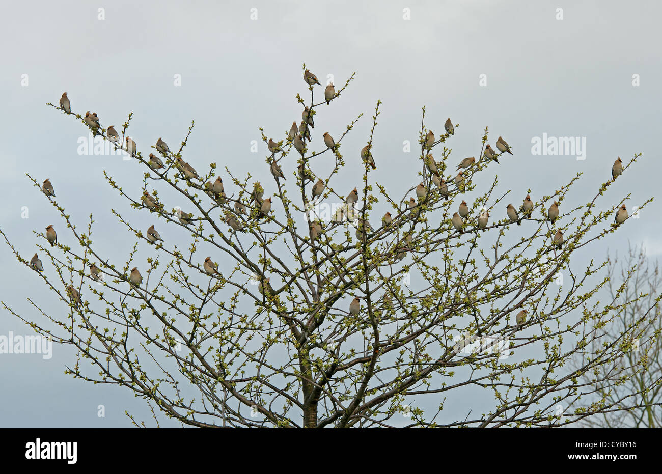 Bohemian Waxwing flock sat in tree early spring in UK - Stock Image