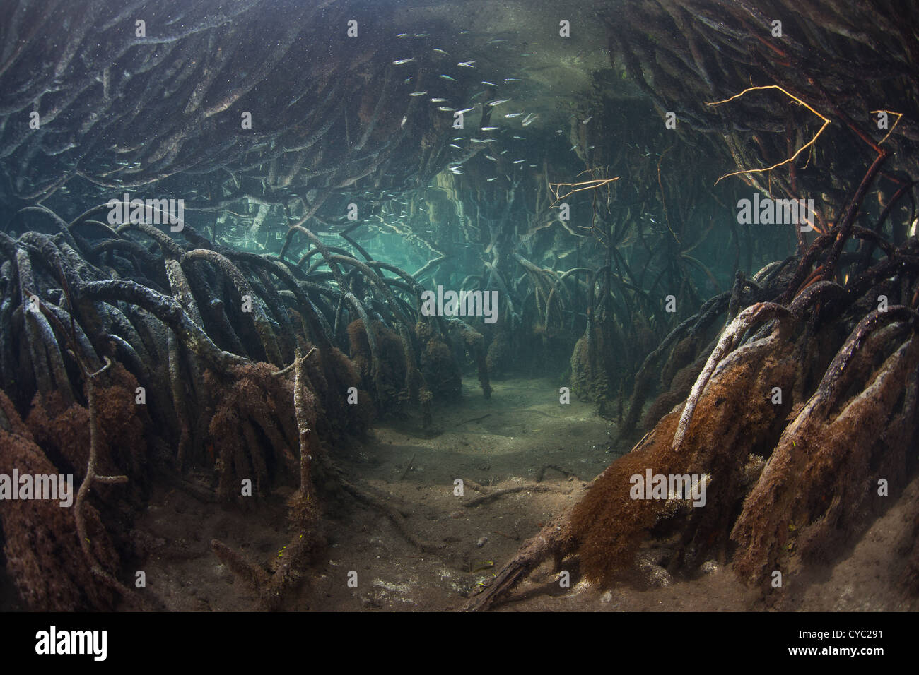 Prop roots from red mangrove trees, Rhizophora sp., curve downward into the soft soil of a remote mangrove forest - Stock Image