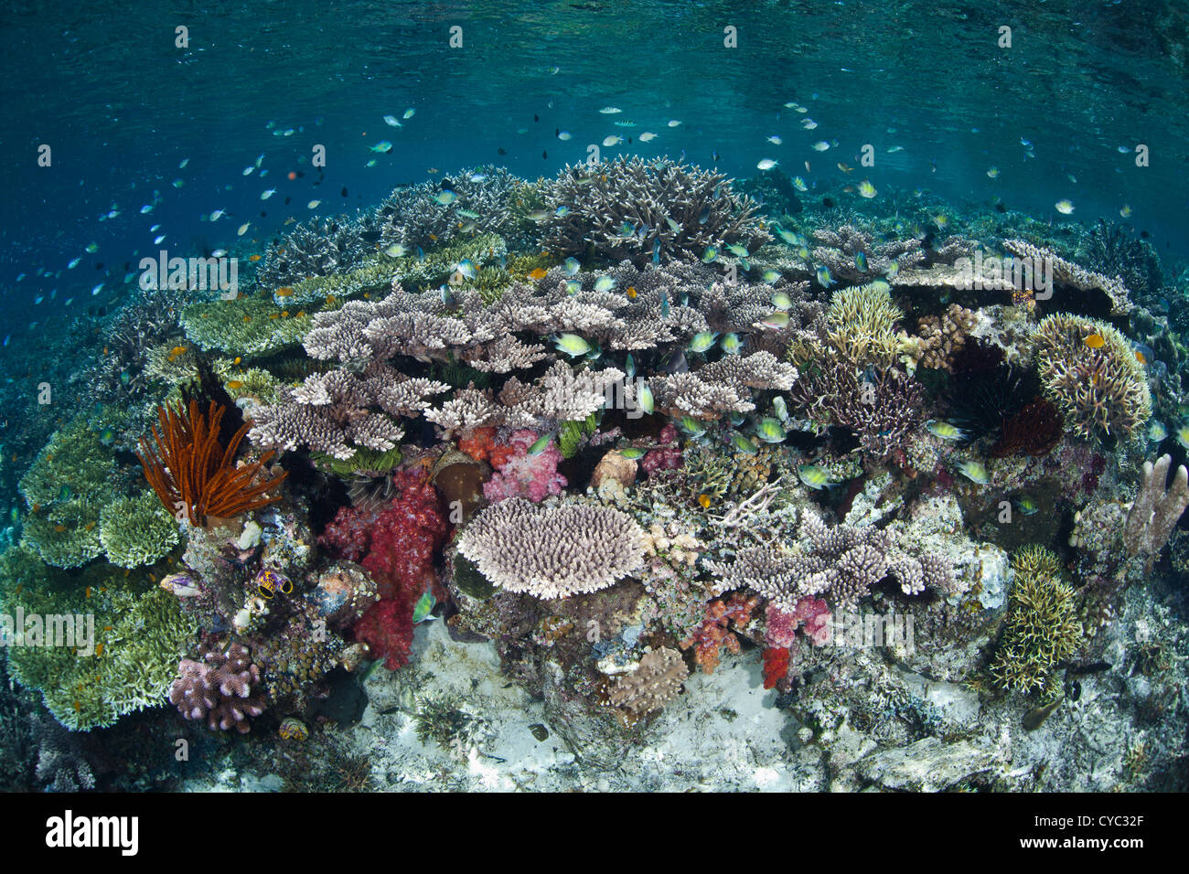 Small reef fishes, mainly damselfish species, hover over a diverse coral reef growing near the island of Misool, - Stock Image
