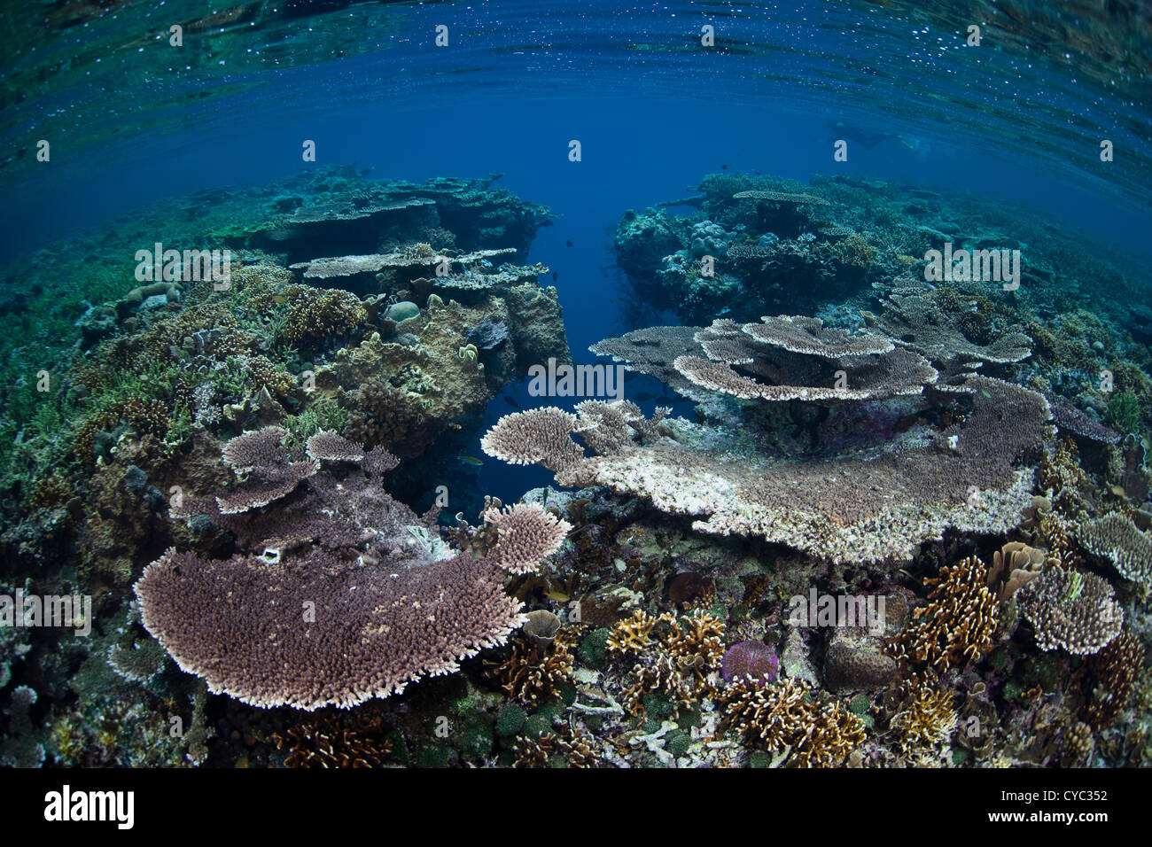 A diversity of reef-building corals grow on a shallow reef flat where they can be viewed by snorkelers or divers. - Stock Image