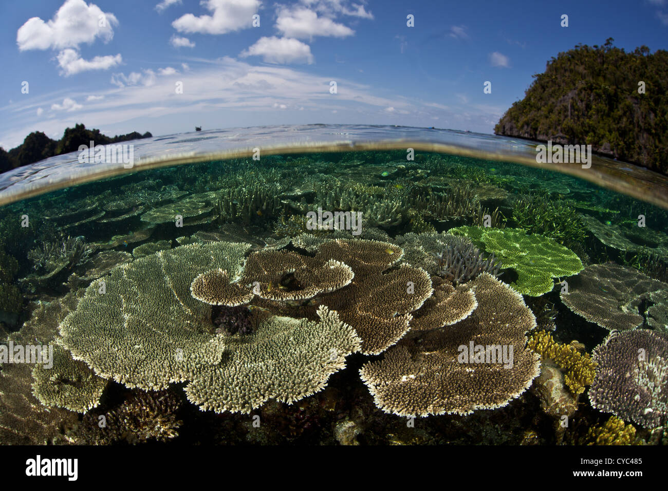 Table corals, Acropora spp., grow on a shallow reef flat between limestone islands in the western Pacific. - Stock Image