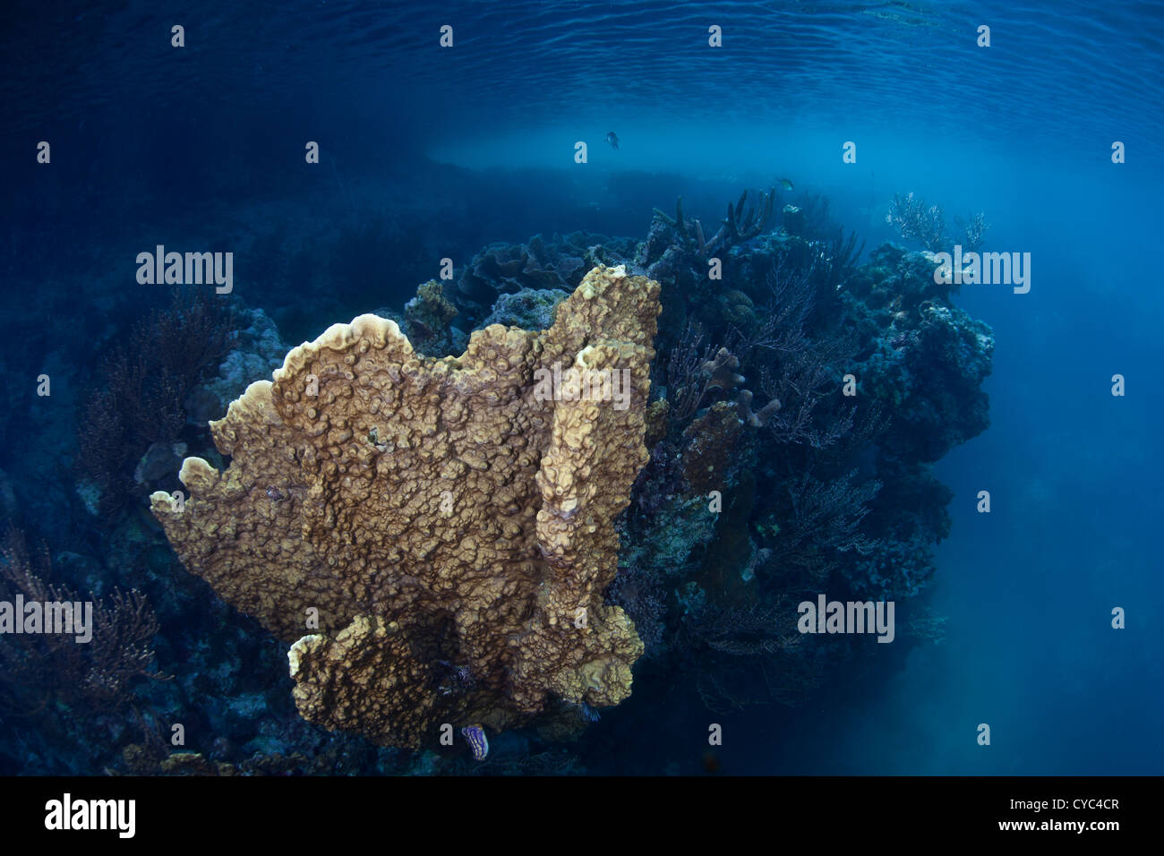 A fire coral colony, Millipora sp., grows in a serene marine lake protected by high limestone islands that surround - Stock Image