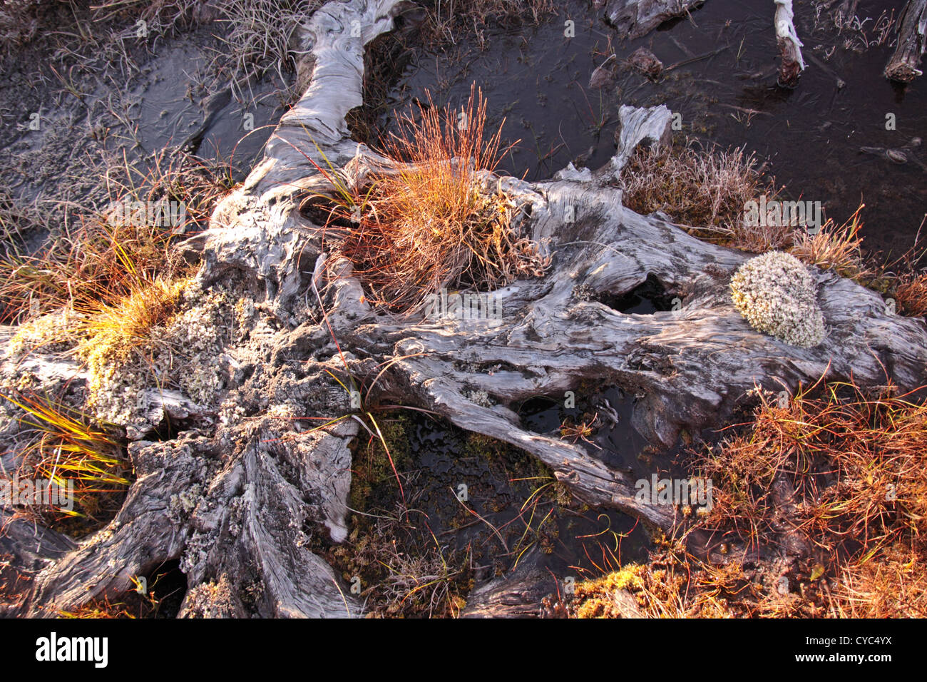 Old tree stump in peat bog with moss and grasses - Stock Image