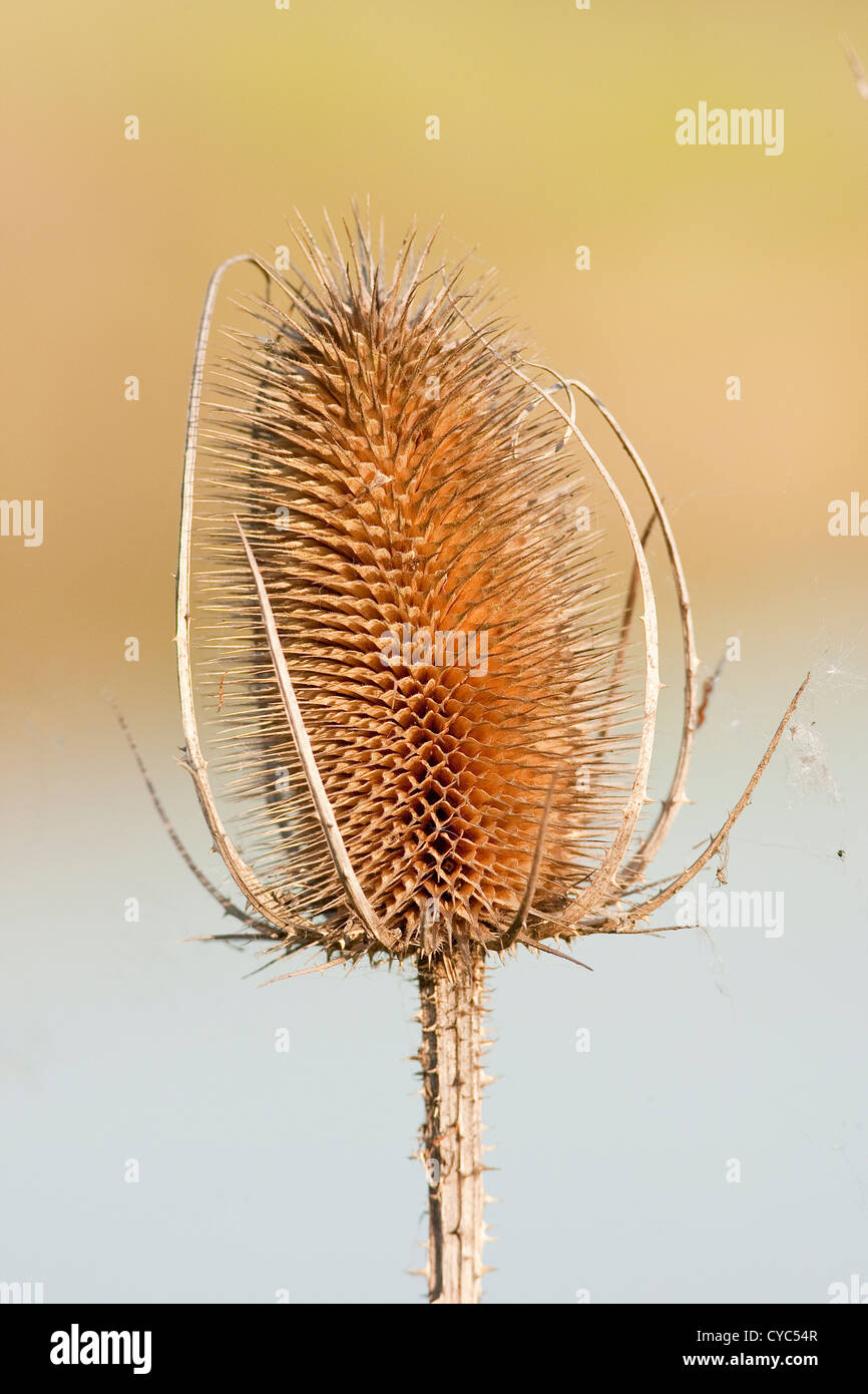 an autumn teasel in late evening light - Stock Image