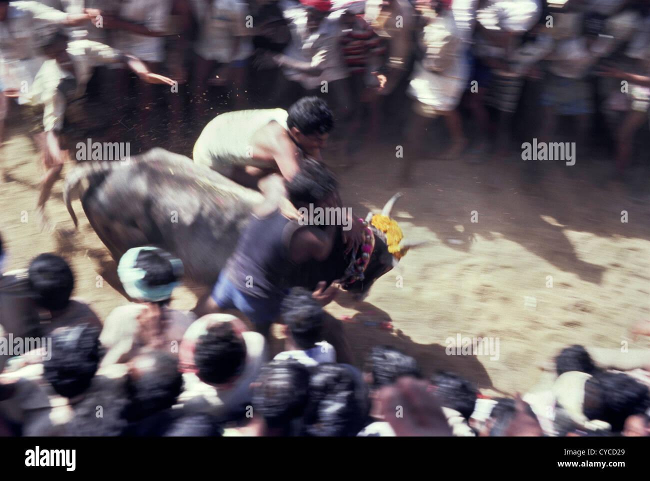 Jallikattu;bull taming in Alanganallur near Madurai,Tamil Nadu,India - Stock Image