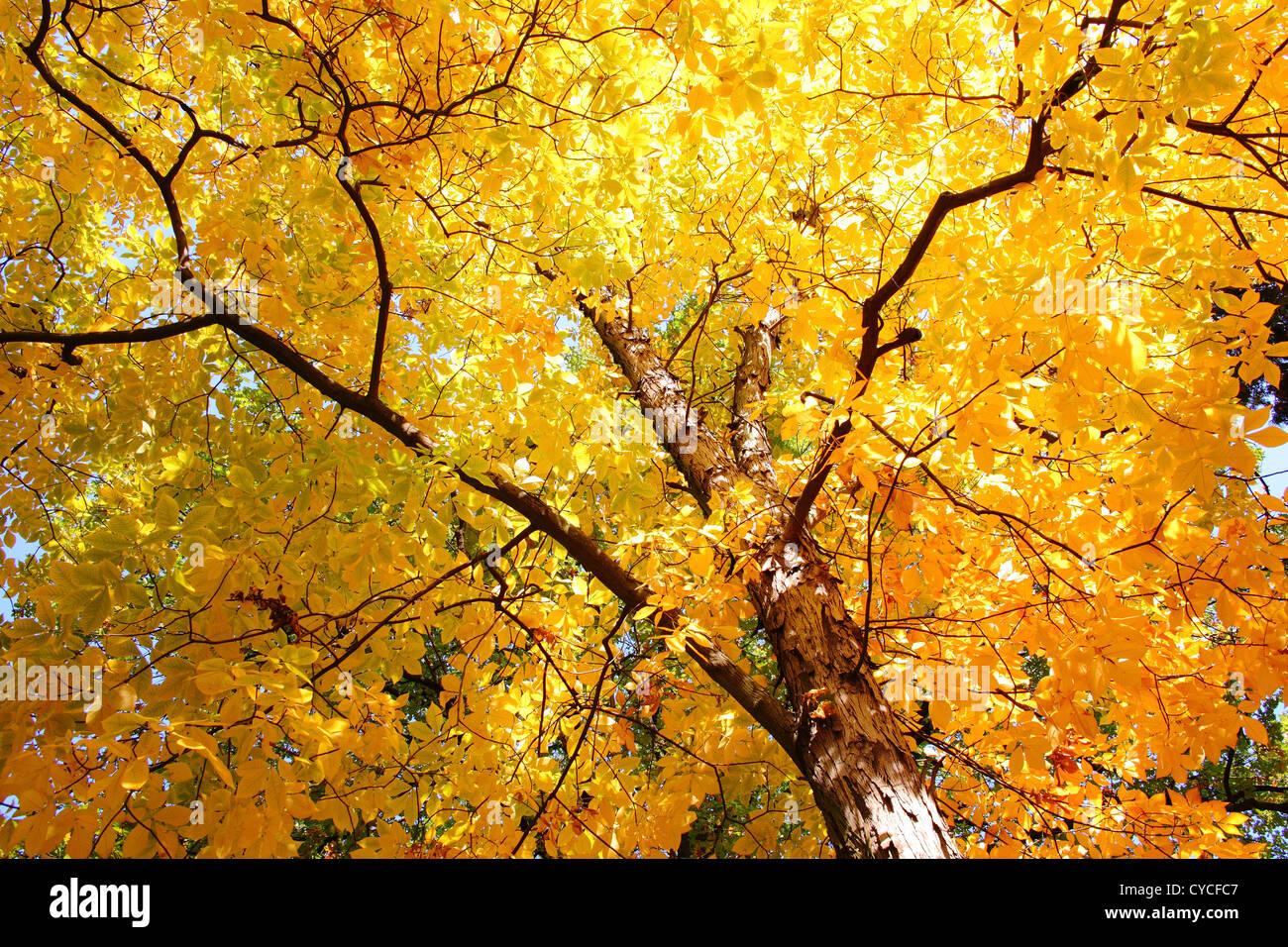 Shagbark Hickory yallow autumn foliage in a sunny day Carya ovata - Stock Image