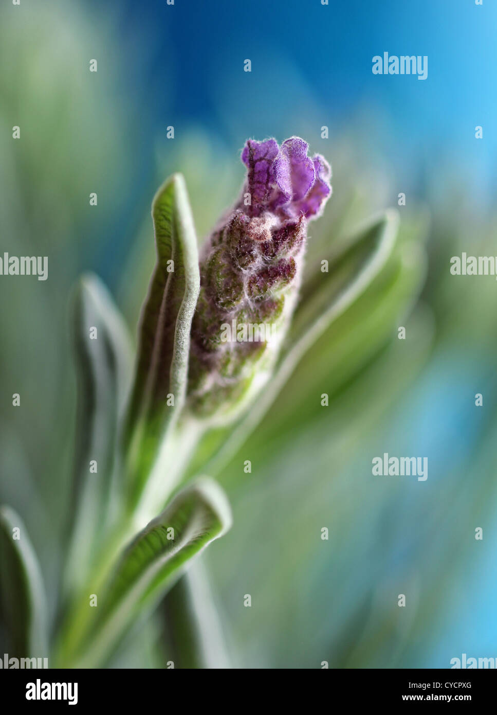 lavender - Stock Image