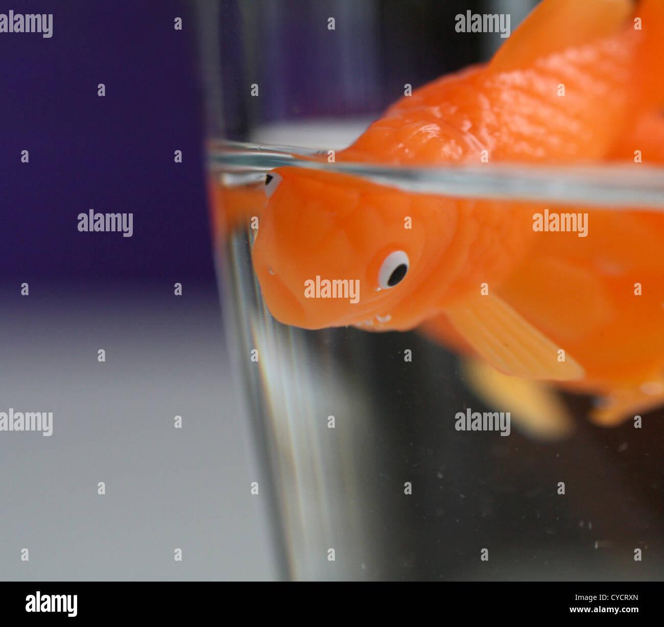 livestock breeding,goldfish,fishbowl - Stock Image