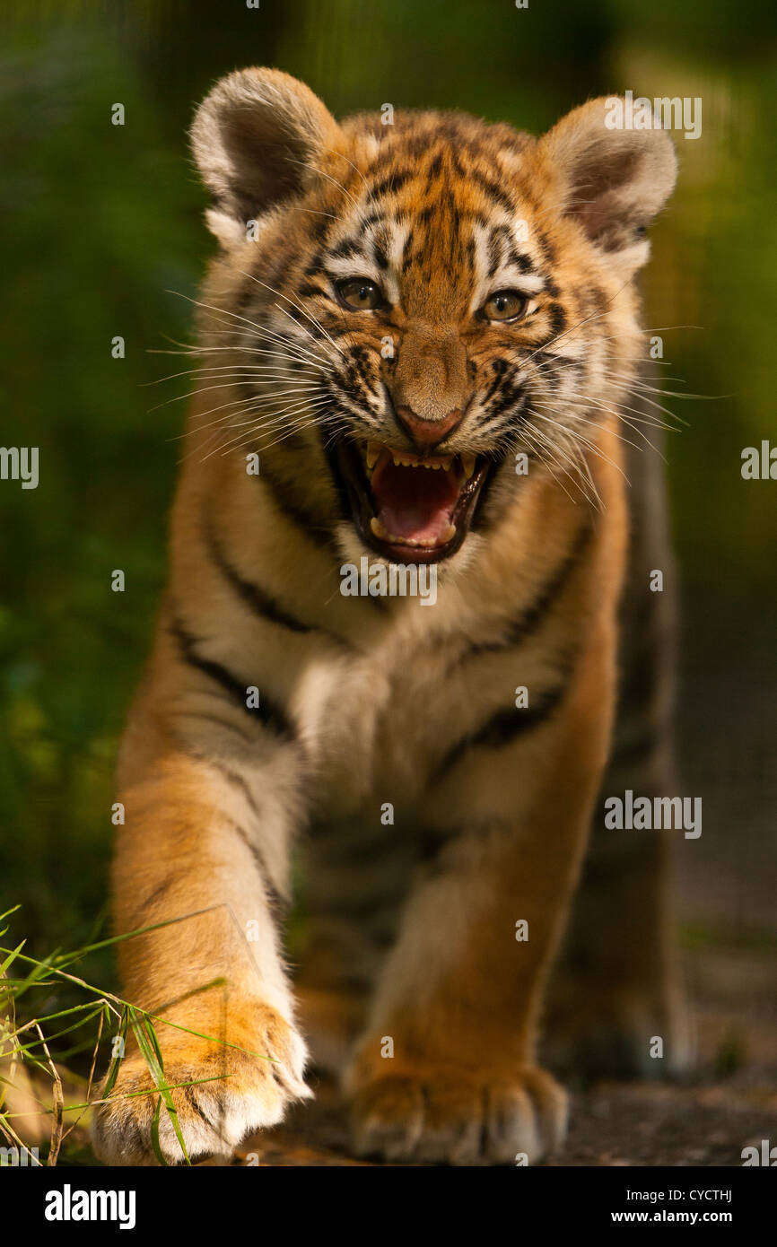 Siberian/Amur Tiger Cub (Panthera Tigris Altaica) Walking And Snarling - Stock Image