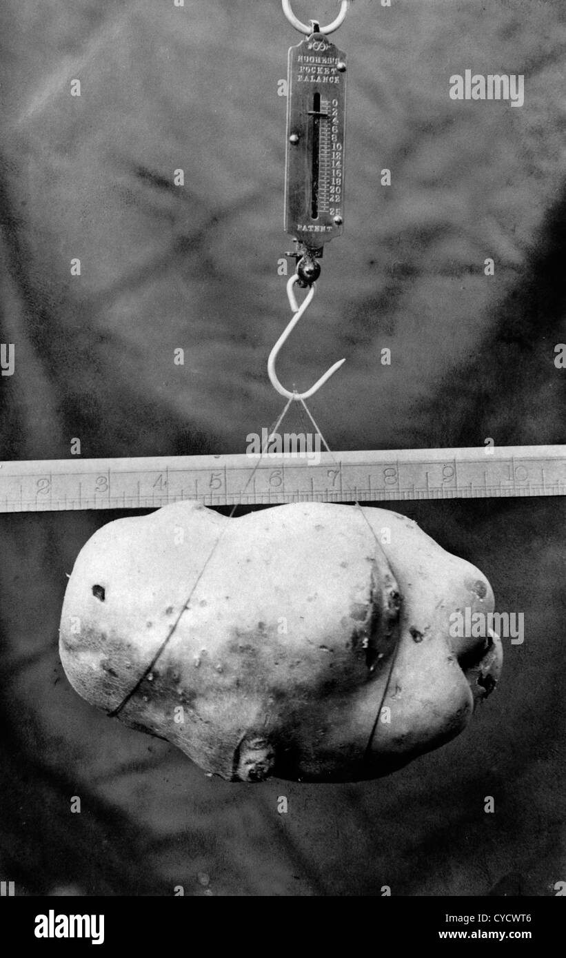 1900s heaviest potato competition at a show. The potatoes is nearly 8 inches long and weighs in at 3 Lbs. Photo - Stock Image
