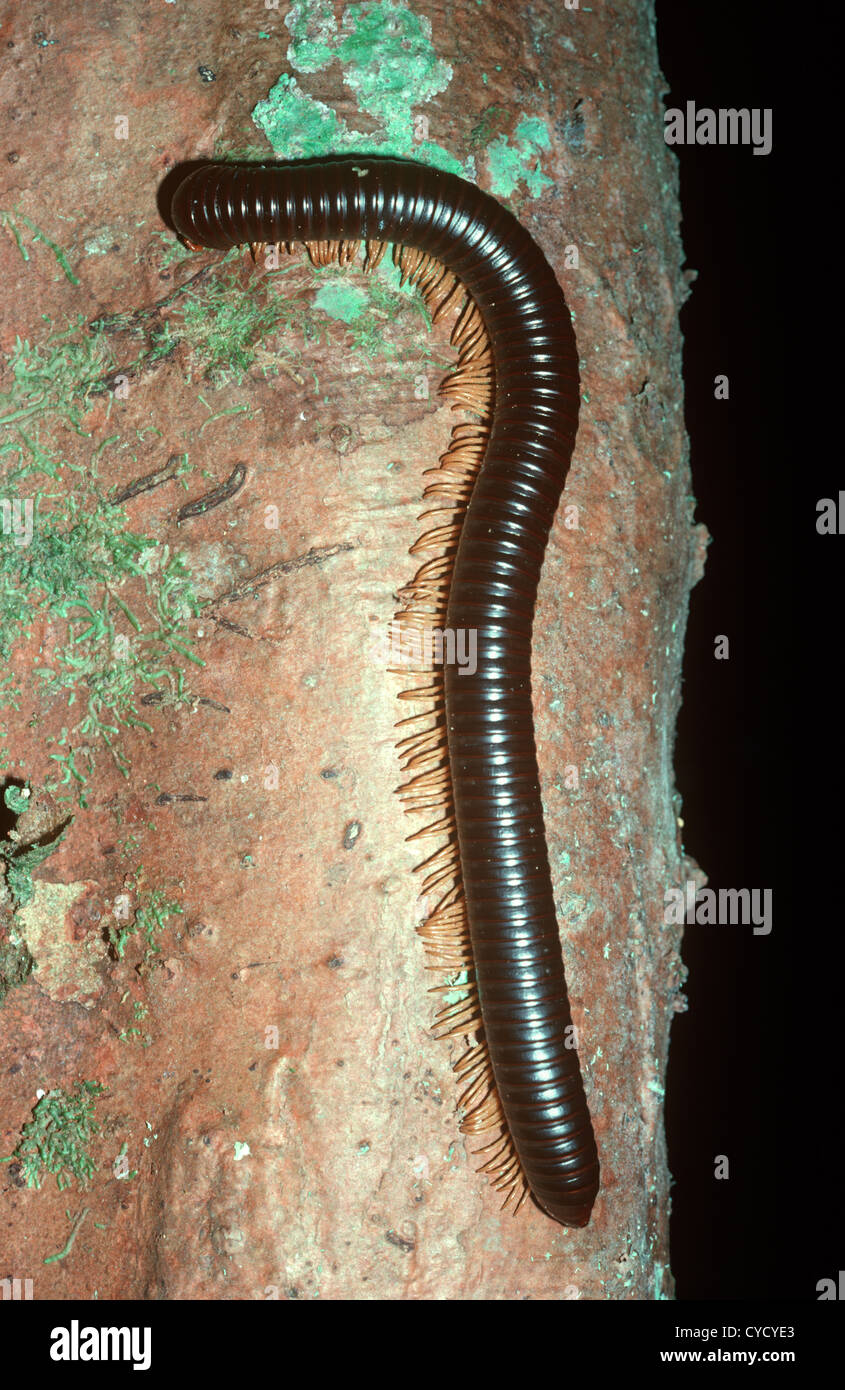 Giant millipede (Spirobolus sp ) in rainforest Malaysia