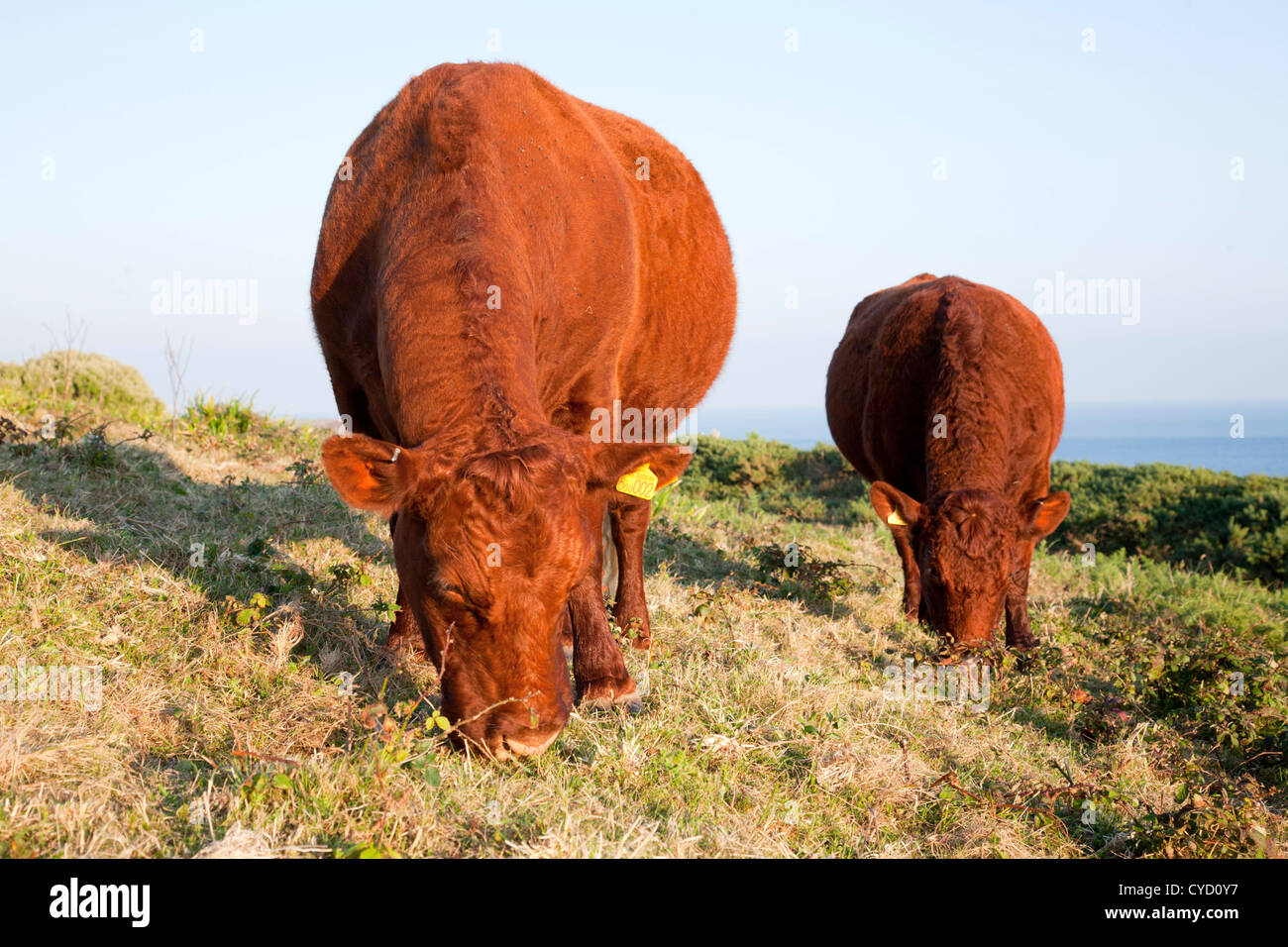 Red Devon Cattle; St Mary's; Isles of Scilly; UK - Stock Image