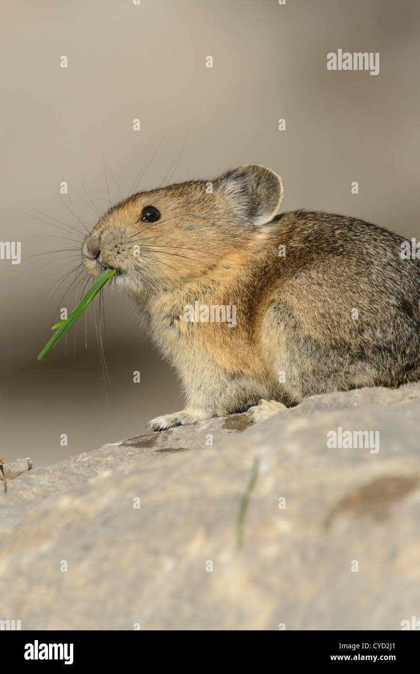 A pika eating a blade of grass, Northern Rockies - Stock Image