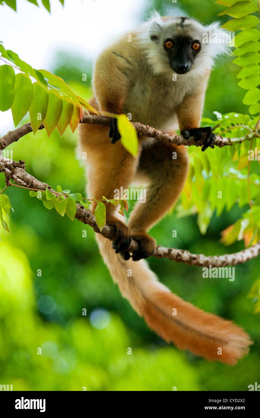 Lemur, Island Of Nosy Be, Madagascar - Stock Image
