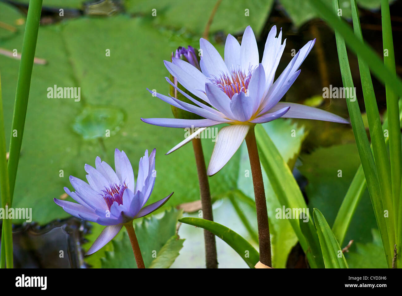 Pastel blue water lilies or lotus flower growing in tall green pastel blue water lilies or lotus flower growing in tall green grass surrounded by lily pads izmirmasajfo