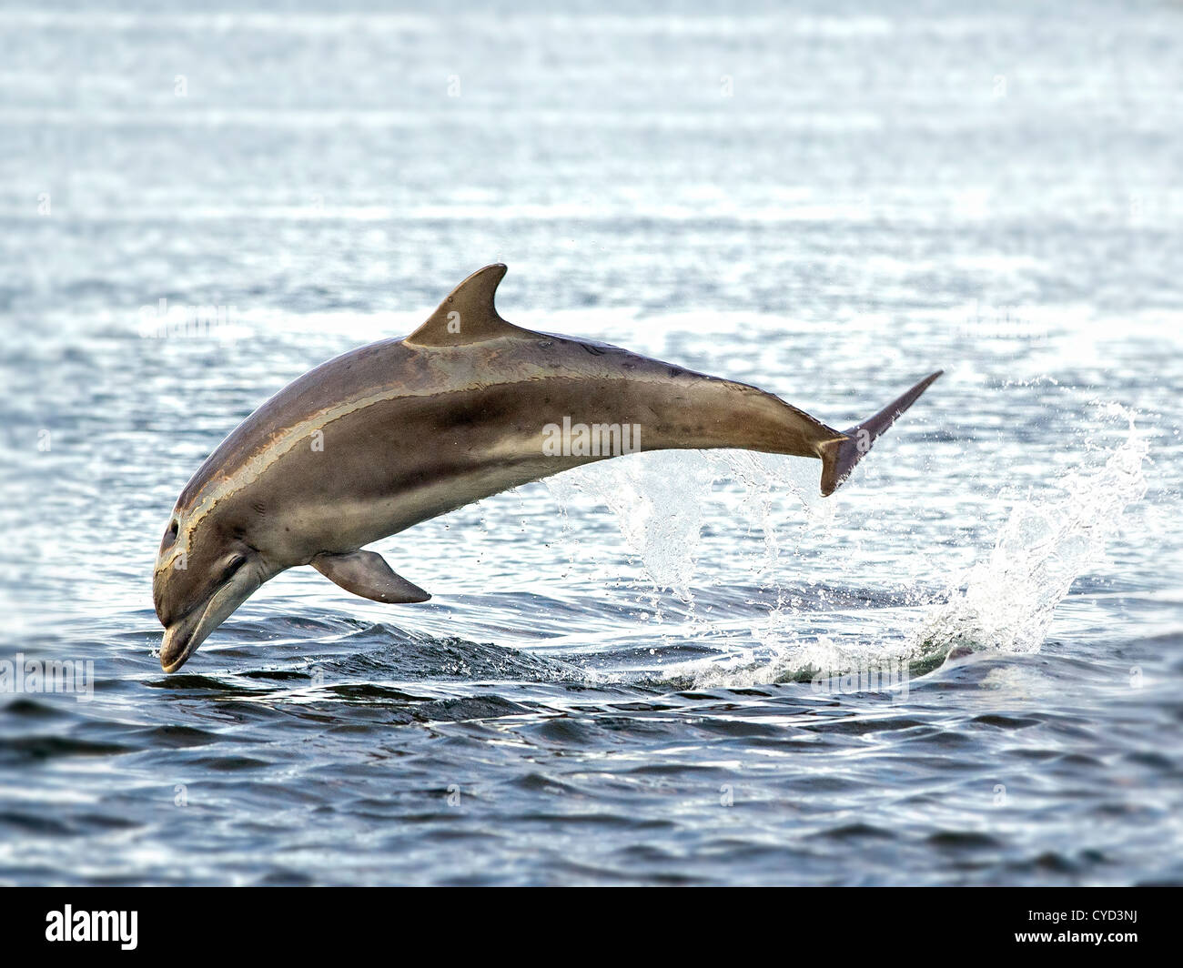 Scottish bottlenose dolphins photograph taken off the beach on the Moray Firth Stock Photo