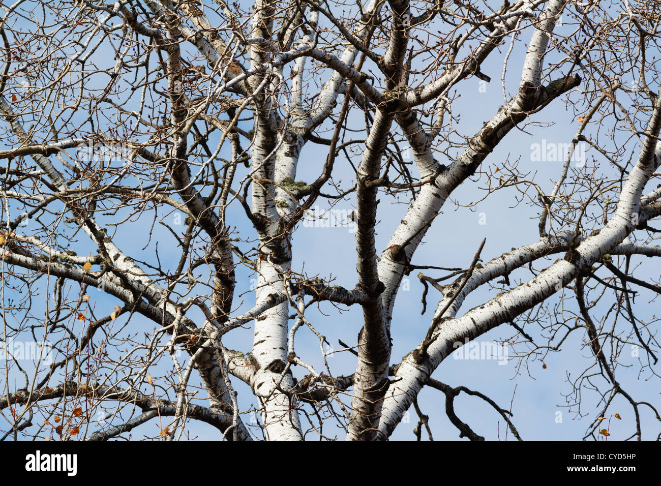 Barren poplar tree branches, Northern Minnesota, USA. - Stock Image