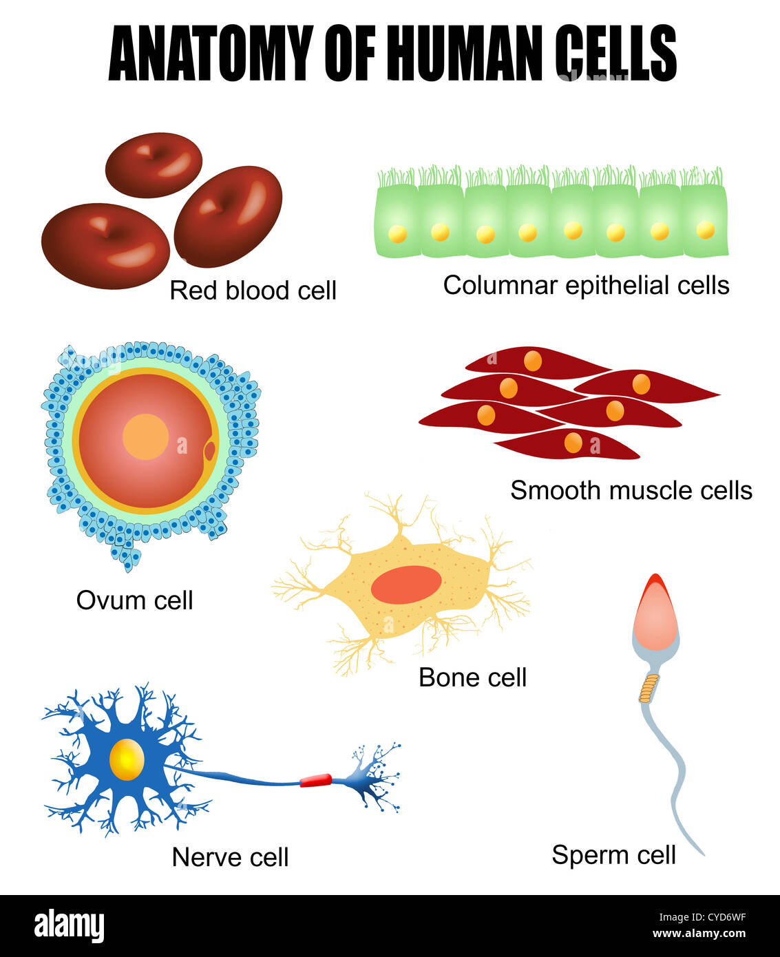 Anatomy Of Different Human Cells Poster Stock Photo 51307243 Alamy