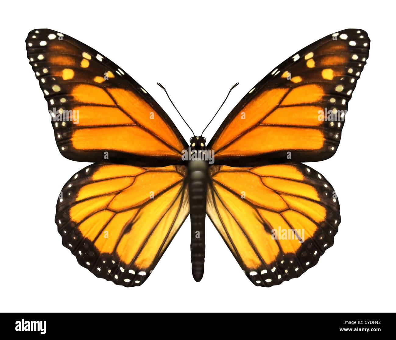 Monarch Butterfly with open wings in a top view as a flying migratory insect butterflies that represents summer - Stock Image