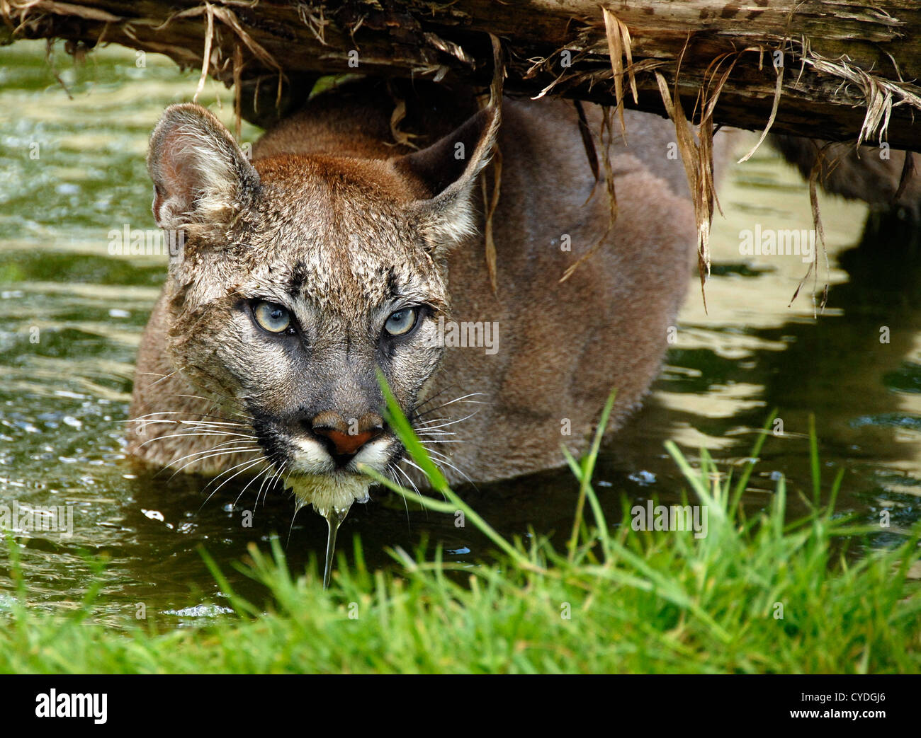 Puma Swimming beneath log - Stock Image
