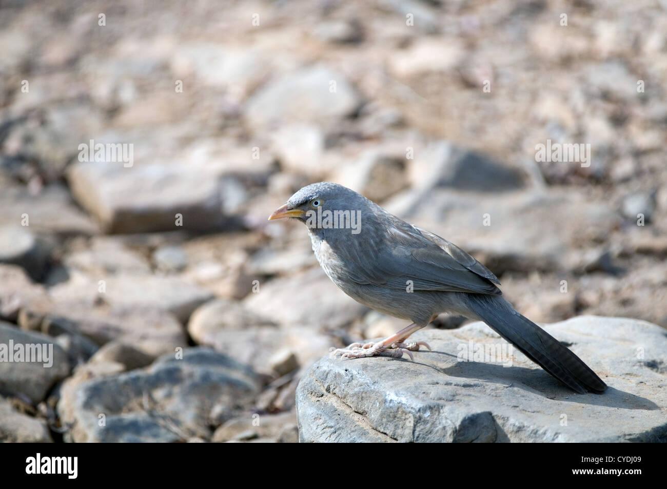 Jungle Babbler on ground - Stock Image