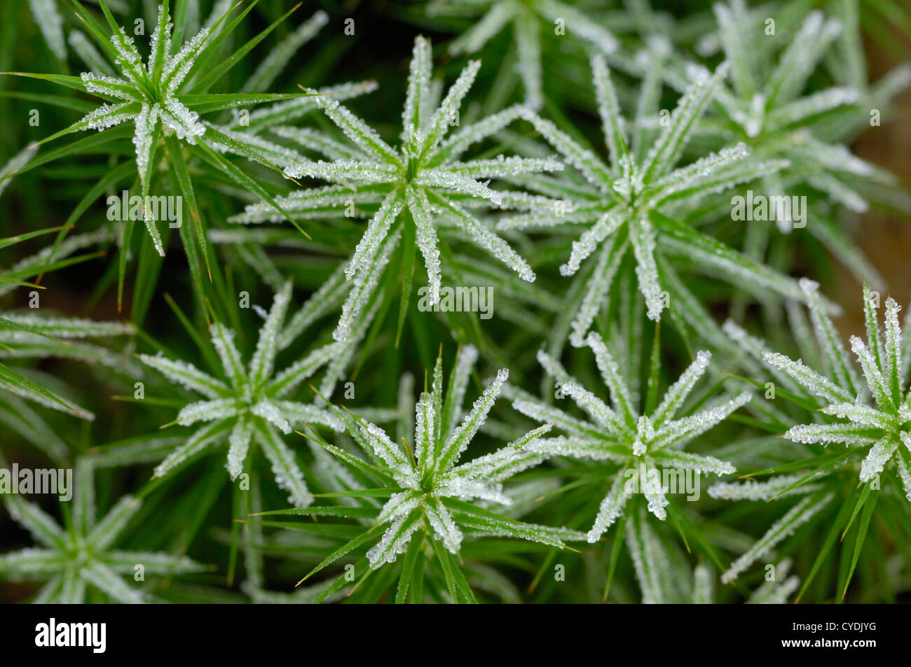 Frosty moss - Stock Image