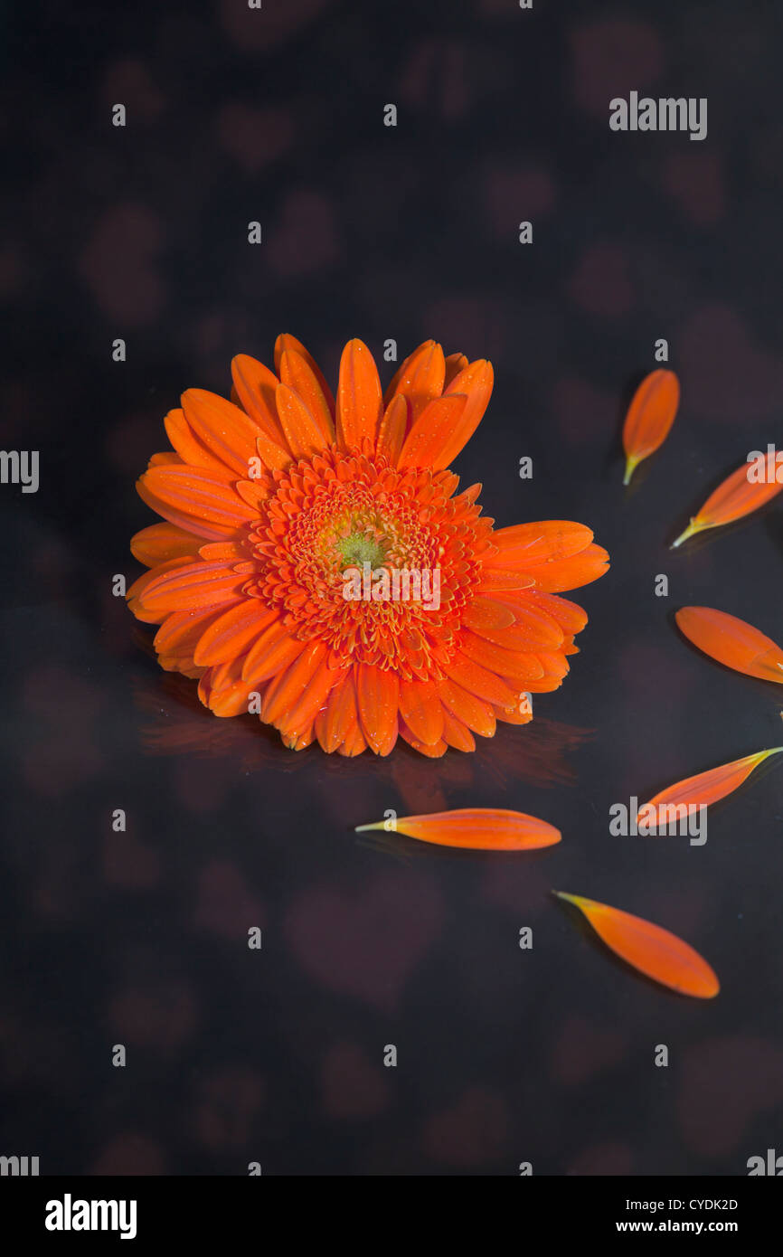 picking petals from a gerbera blossom to play he loves me - he loves me not - Stock Image