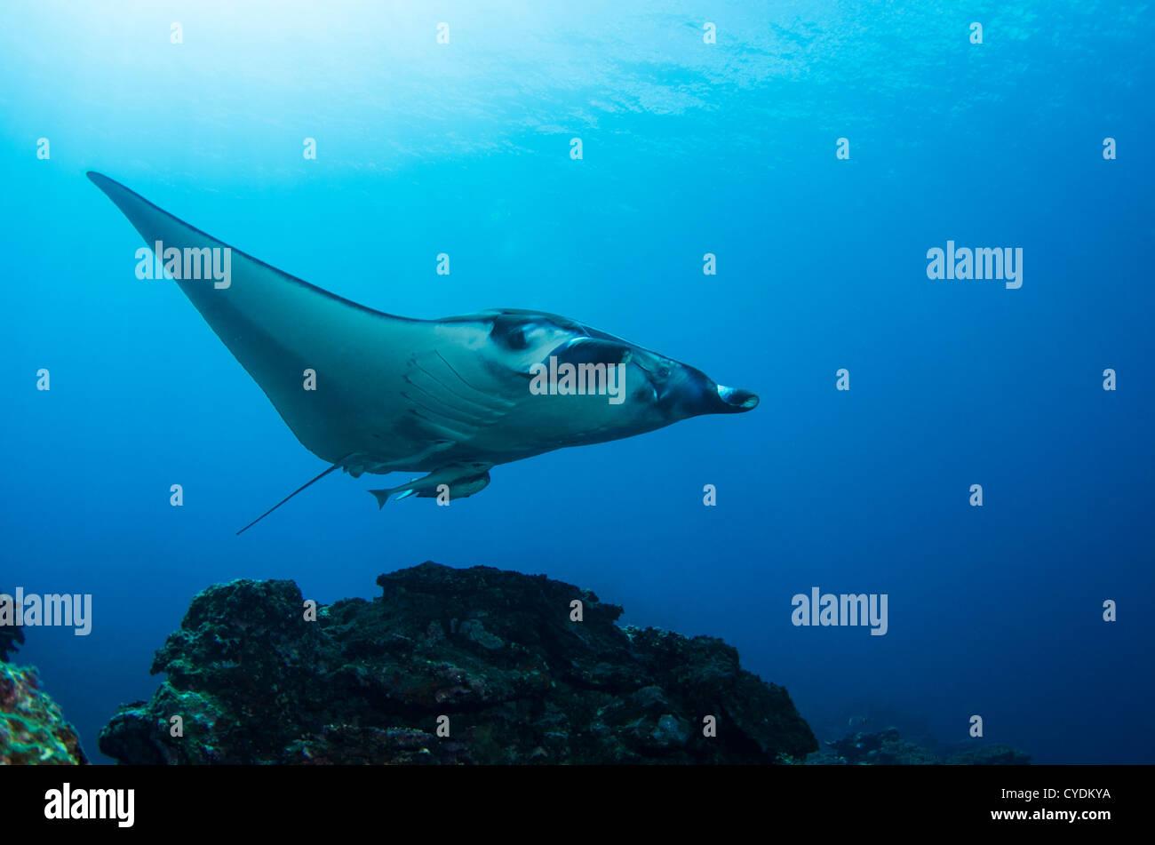 manta ray at 'manta scramble' Kabira Bay off the coast of Ishigaki Island, Okinawa, Japan. - Stock Image
