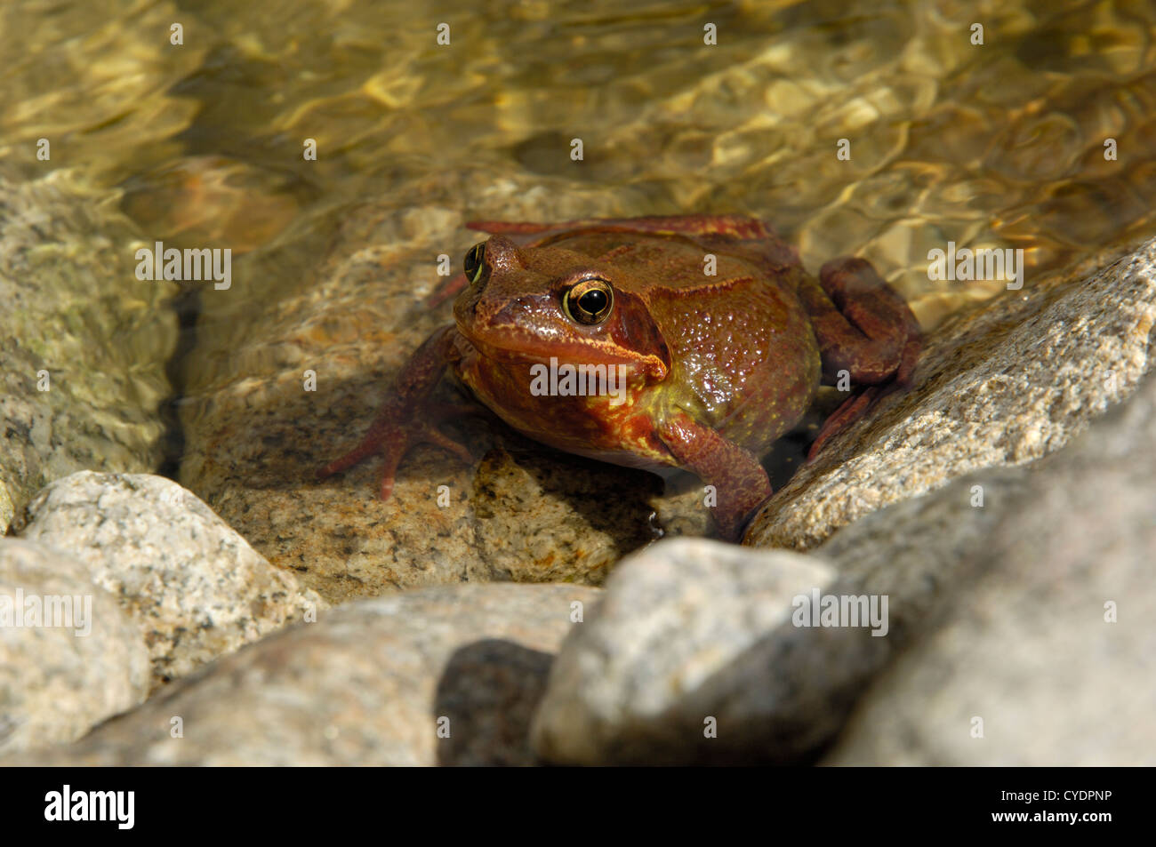 Common Frog, Rana temporaria in a pond, unusual red colouration, Dumfries and Galloway, Scotland - Stock Image