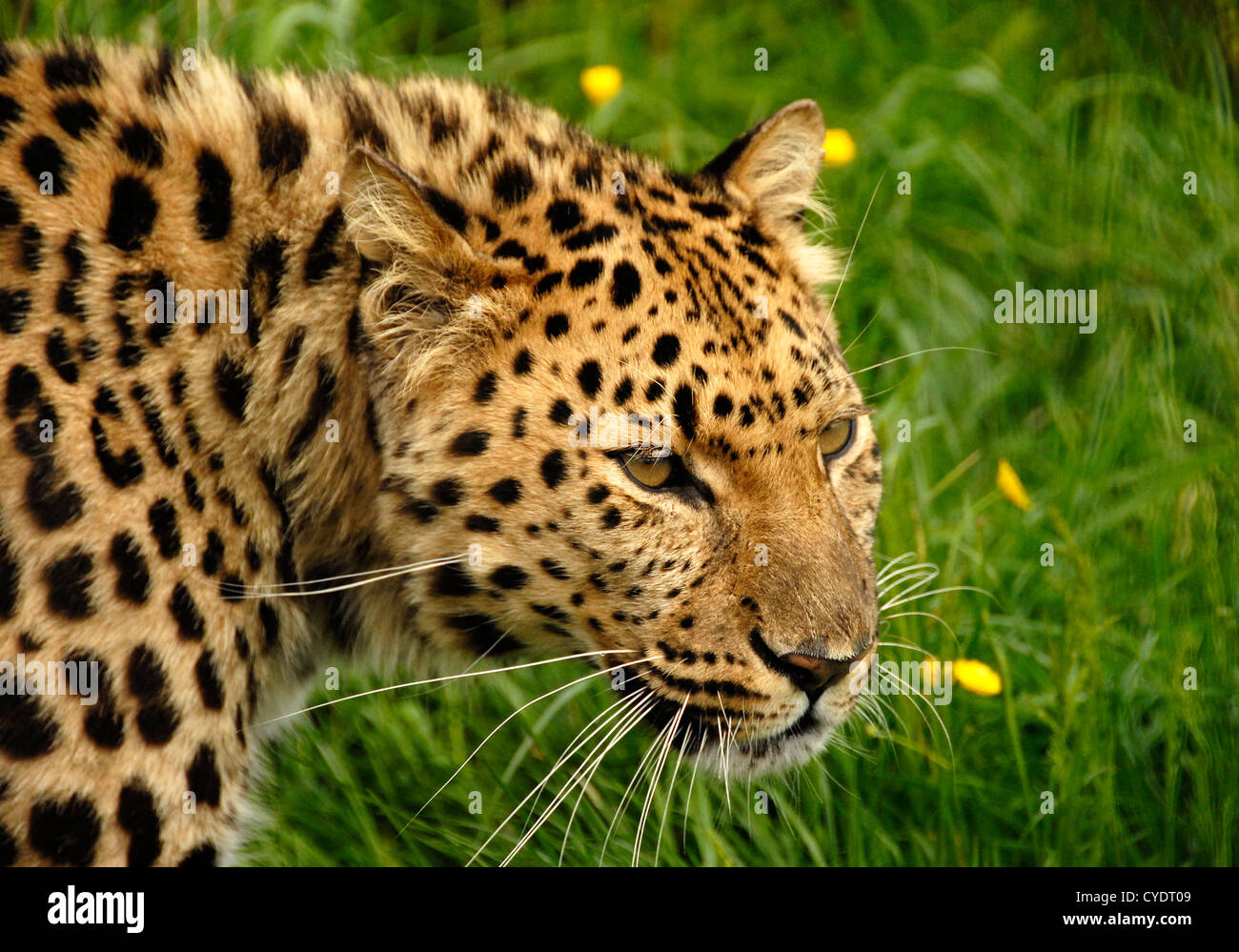 Close up Amur Leopard prowling - Stock Image
