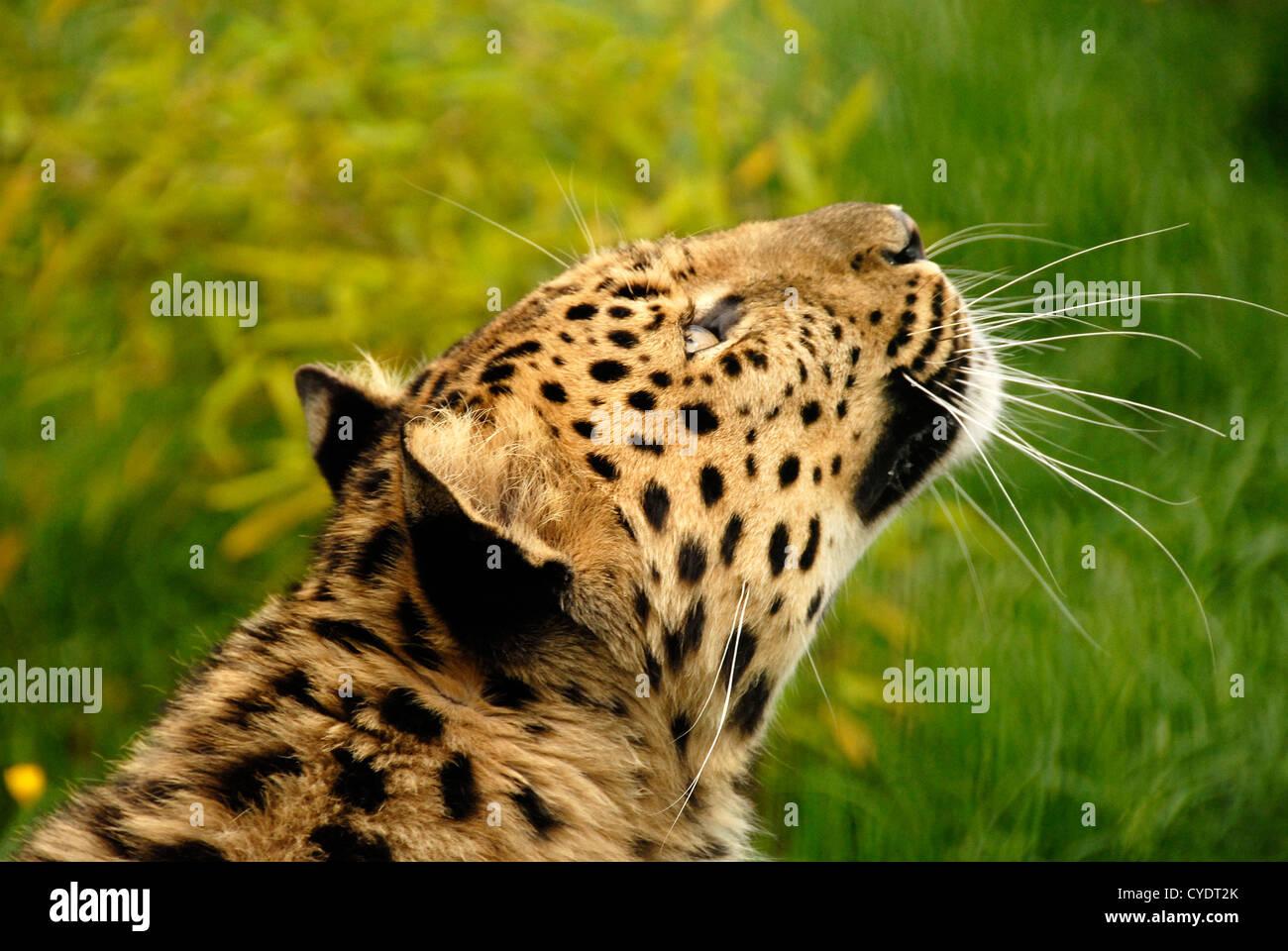 Amur Leopard close up looking toward up - Stock Image
