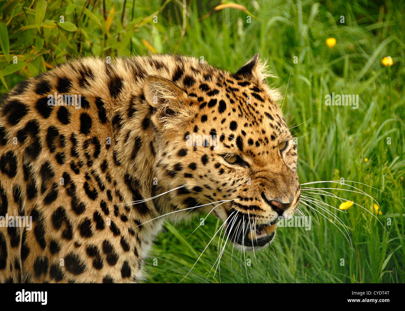 Amur Leopard close up snarling - Stock Image