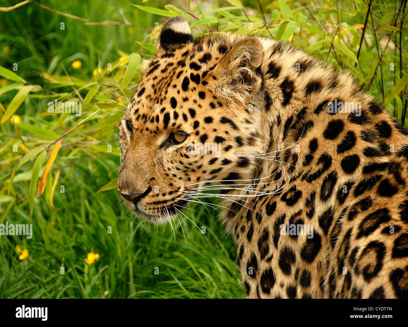 Amur Leopard close up looking toward left - Stock Image