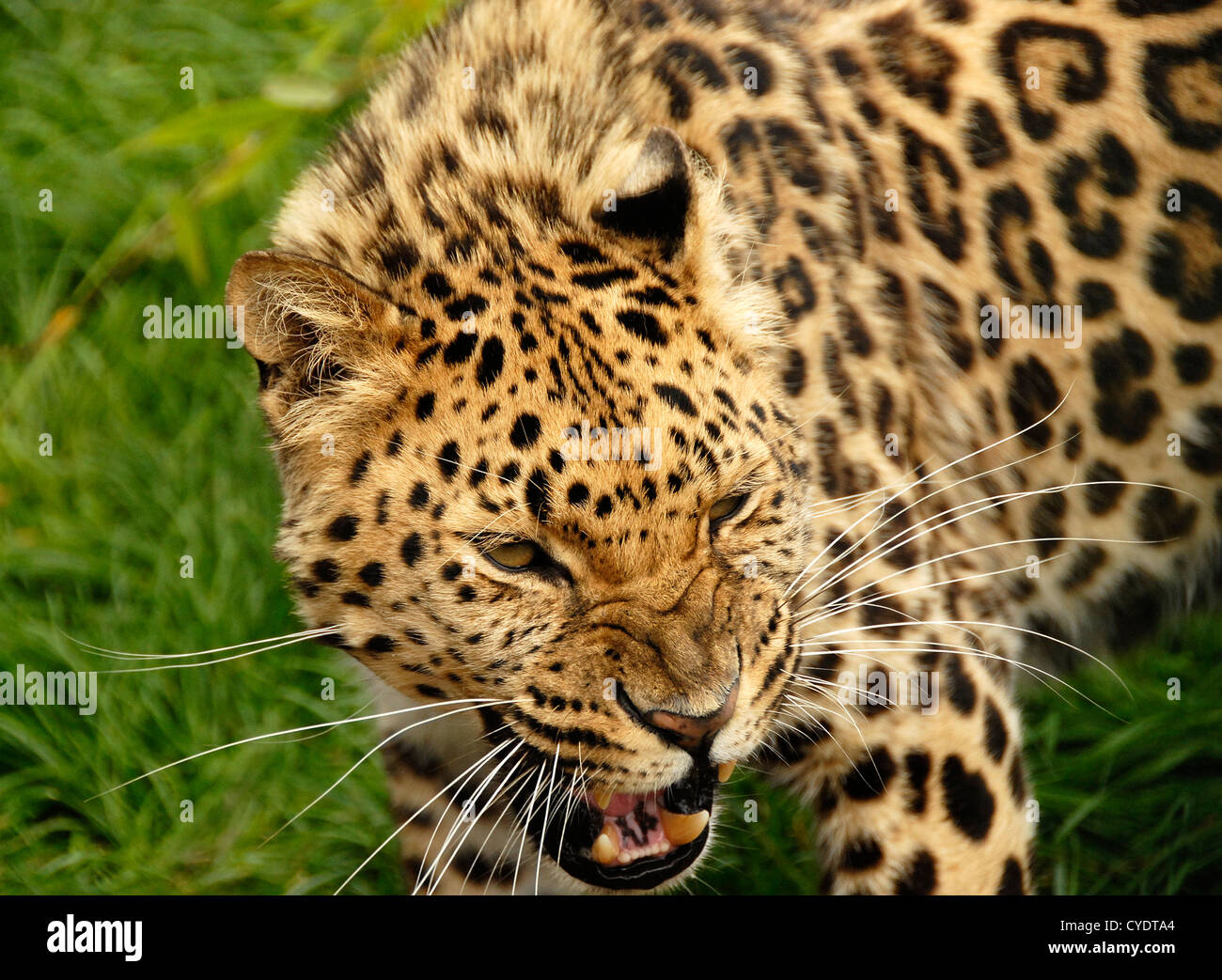Close up Amur Leopard snarling - Stock Image
