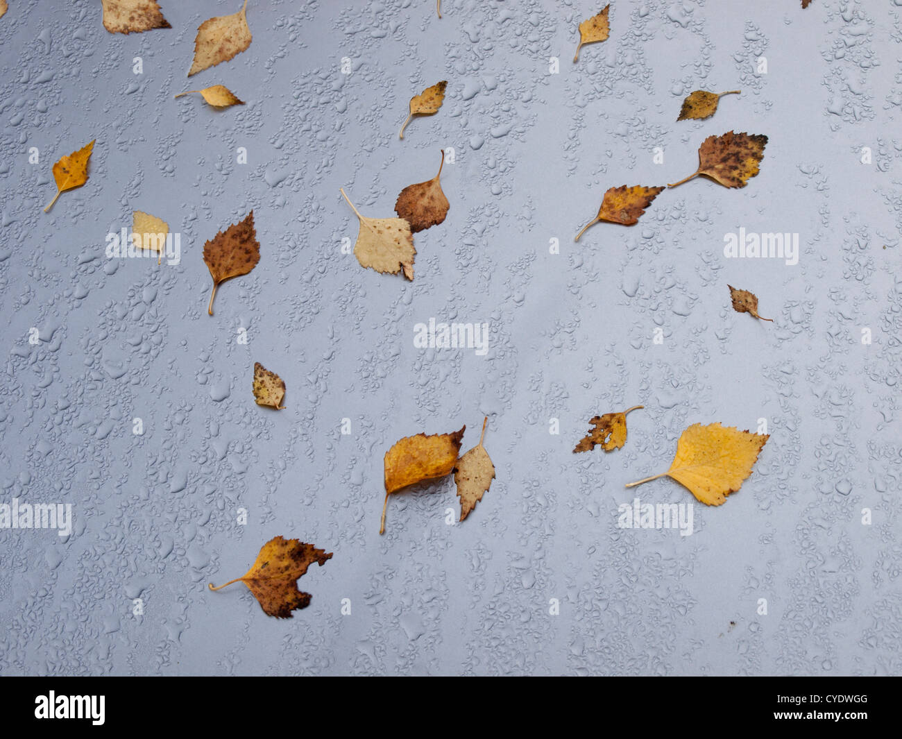 Yellow and brown birch leaves on a gray car hood with rain or dew drops - Stock Image