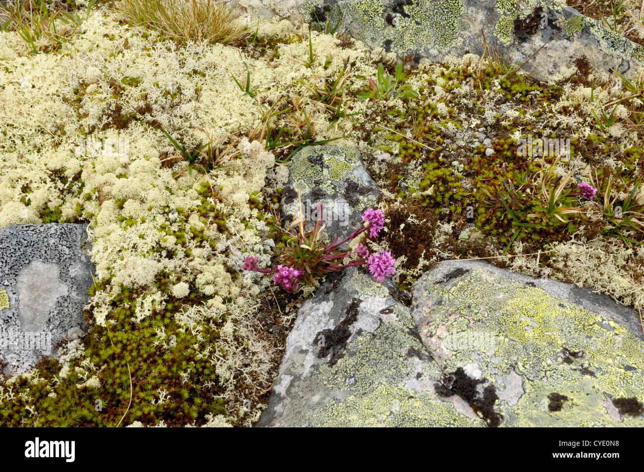 Lichen in the Jotunheimen mountains, near Hervassbu, Sogn og Fjordane, Norway - Stock Image