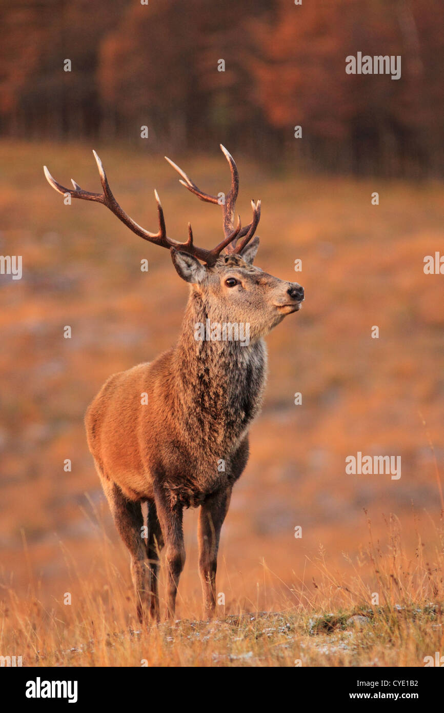 UK Scotland Red Deer Stag in Scottish Highlands - Stock Image