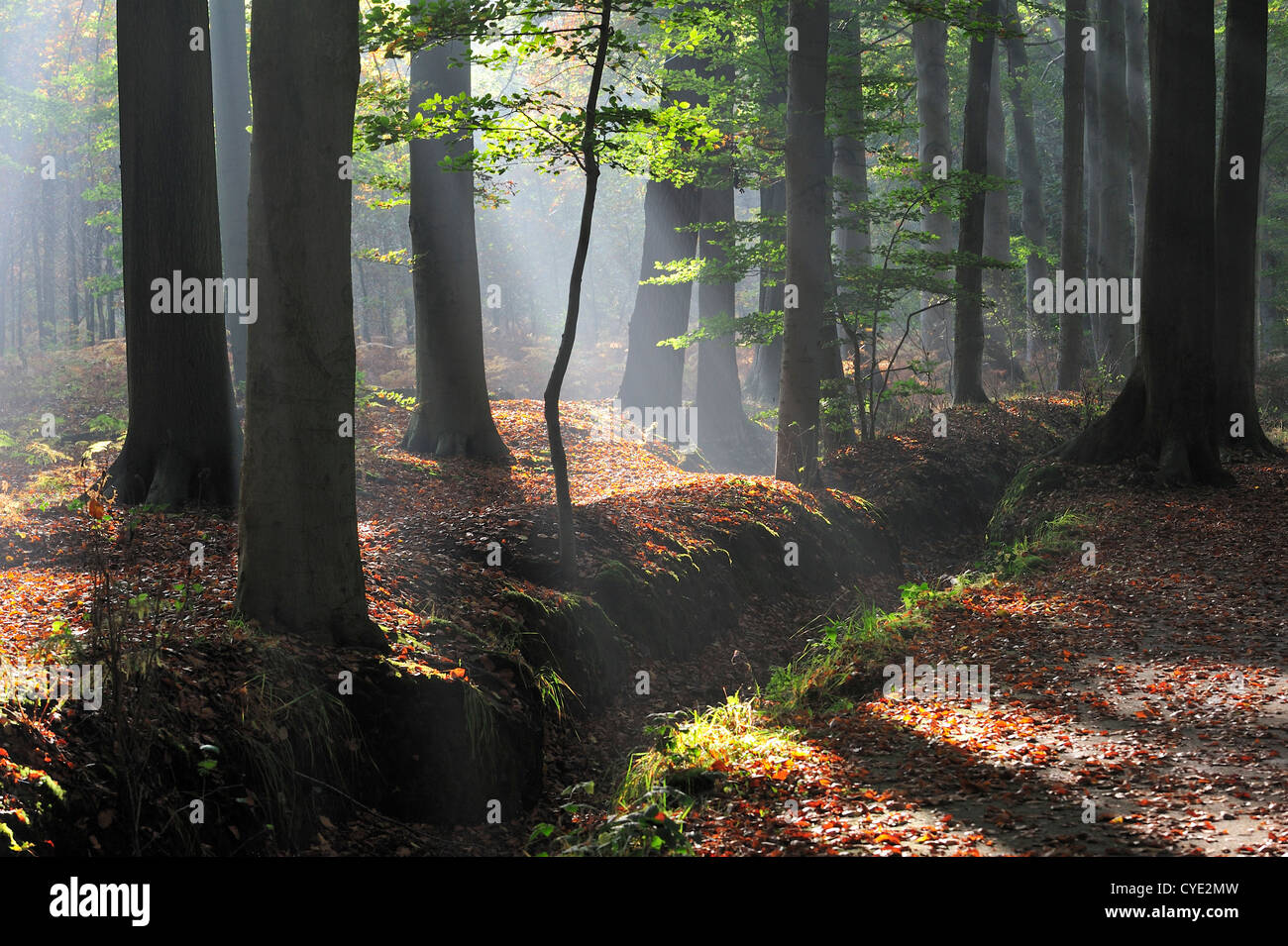 Sunrays shining through broad-leaved forest with beech trees in autumn colours at sunrise creating a tranquil atmosphere - Stock Image