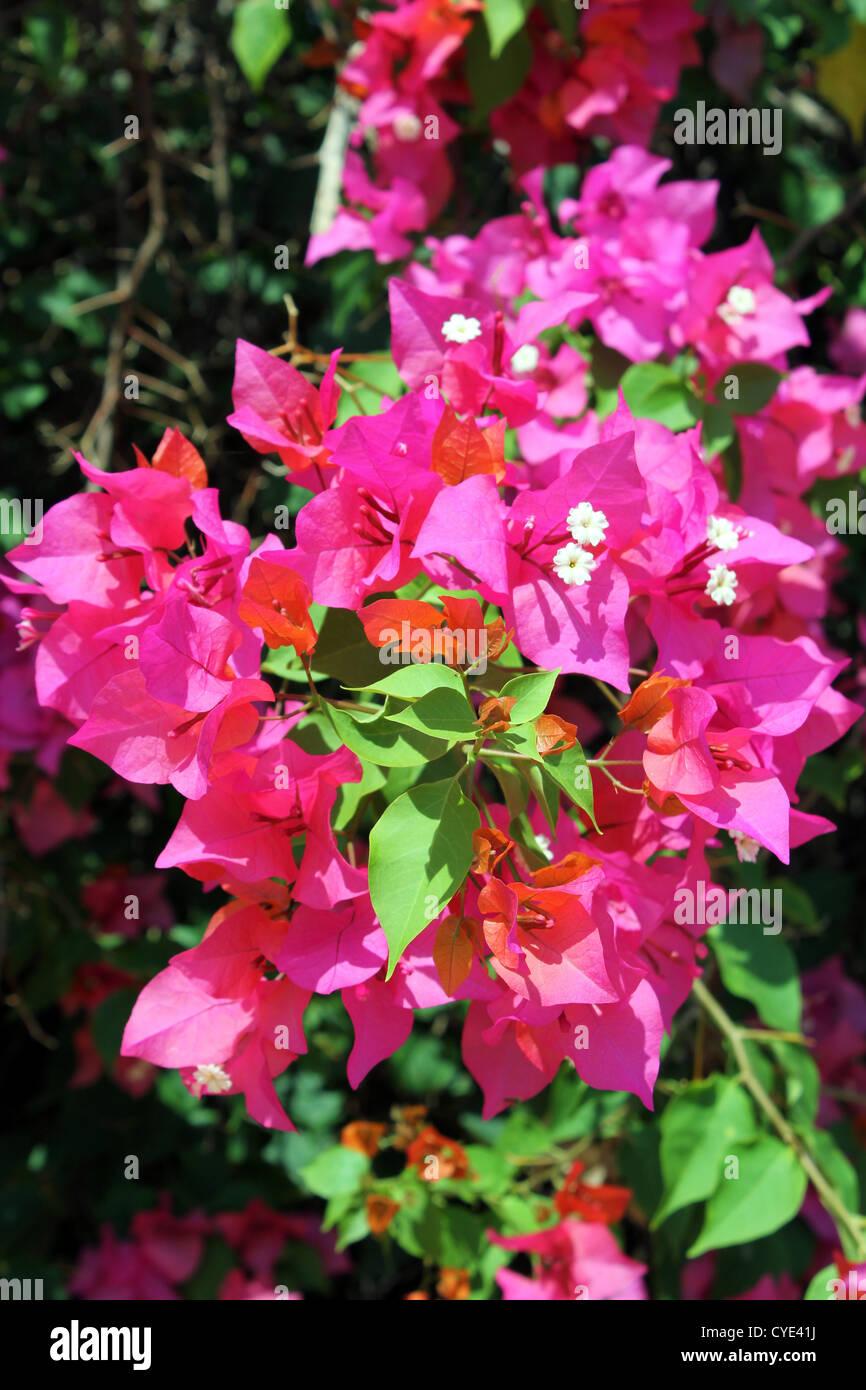 Pink or purple Bougainvillea spectabilis - Stock Image