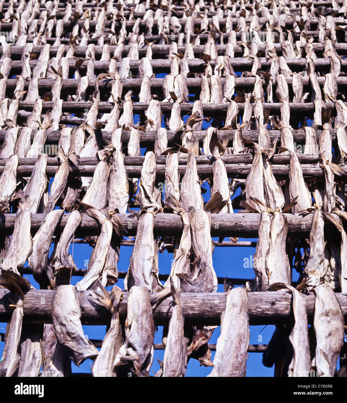8316. Cole fish drying, Northern Norway, Europe - Stock Image